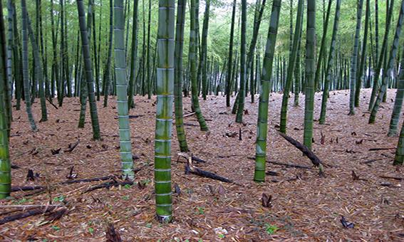 Capaccio convegno su piantagioni bamb coldiretti for Bamboo coltivazione